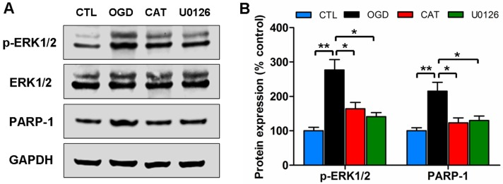 Effects of catalpol on the activation of the ERK1/2 pathway in PreOLs under OGD. (A) Western blot analysis for p-ERK1/2 and PARP-1 expression in the CTL, OGD, CAT, and U0126 groups. Total ERK1/2 and GAPDH were used as loading controls. The blot shown is representative of six independent experiments. (B) Quantification of p-ERK1/2 and PARP-1 protein expression levels from Western blot analysis. Data are expressed as percentages of the values in the CTL group and are shown as the means ± SEM (n = 6 in each group). * p