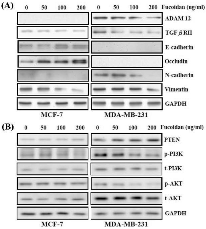Fucoidan regulates the miR-29c/ADAM12 and miR-17-5p/PTEN axes to inhibit the epithelial-mesenchymal transition (EMT) and cancer cell survival in MCF-7 and MDA-MB-231 cells. (A) After treatment with fucoidan (0, 50, 100, 200 μg/mL) for 48 h, protein levels of E-cadherin, occludin, N-cadherin, vimentin, ADAM12, TGF-βRII, and were analyzed by Western blotting. Glyceraldehyde-3-phosphate dehydrogenase (GAPDH) was used as a loading control. (B) Protein levels of PTEN, phosphor- and total-PI3K, and phosphor- and total-AKT were analyzed by Western blotting. GAPDH was used as a loading control.