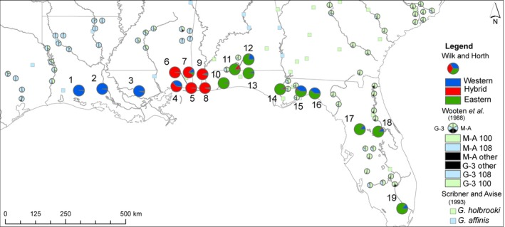 Microsatellite data from this study (Wilk and Horth), historical allozyme (Wooten et al., 1988 ) and mt DNA (Scribner Avise, 1993 ) patterns for mosquito fish. Bright blue, red, and green pies represent Wilk and Horth's microsatellite alleles (western, hybrid, and eastern, respectively). Pale blue, green, and black pies represent Wooten et al. ( 1988 ) allozymes. For Wooten et al.'s ( 1988 ) allozymes, the left half of each pie represents the frequency of Glycerol‐3‐phosphate dehydrogenase (G‐3) alleles; the right half, M‐aspartate amino transferase (M‐A) alleles. Alleles are color‐coded for the most common allele by geographic region. G‐3 117 is represented by blue coloration on the left half of the pie, since it was common in the west. G‐3 100 is represented by green coloration on the left half of the pie since it was common in the east. M‐A 108 is blue on the right half of the pie since it was common in the west. M‐A 100 is green and was common in the east. Rare alleles are black. Pale blue and green squares represent Scribner and Avise's ( 1993 ) mt DNA for G. affinis and G. holbrooki, respectively