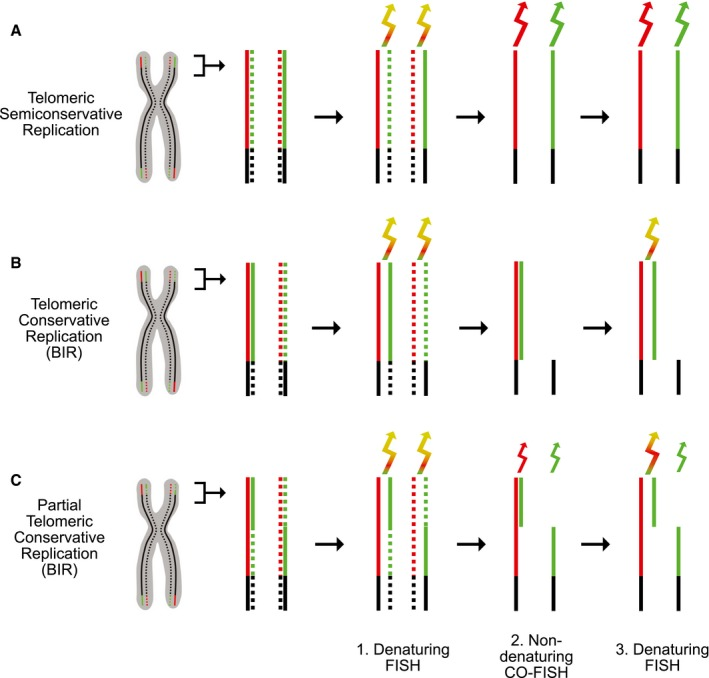 Triple‐FISH protocol to distinguish between telomeric semiconservative and conservative DNA replication Semiconservative replication. Diagram of a chromosome with the telomeric C‐rich and G‐rich strands colored red and green, respectively. Newly synthesized strands are indicated by dotted lines. The three steps of the protocol were strand‐specific: dual color, denaturing FISH (1), non‐denaturing chromosome orientation (CO)‐FISH (2), and denaturing FISH (3). In the second step, the nascent strands have been digested. In all steps, two sets of PNA primers specific for the G‐strand and C‐strand, respectively, were used to monitor the presence of both strands. The arrows indicate the color of the emitted light and its intensity (idealized). Conservative replication. Diagram showing that telomeric conservative replication (shown here to involve the entire length of the telomeres at the p arms) leads to distinct staining patterns, not observed with semiconservative replication. BIR, break‐induced replication. Partially conservative and partially semiconservative telomeric replication. Diagram showing the staining patterns predicted for telomeres that are partially conservatively replicated (distal half) and partially semiconservatively replicated (proximal half), as might occur following fork collapse within a telomere (shown only for the telomeres at the p arms).