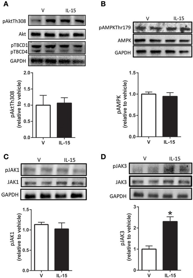 Effects of IL-15 signaling on mediators of glucose uptake and proteins downstream of IL-2βγ receptor signaling . Western blotting of (A) phospho-Akt-Thr308, TBCD1, TBCD4, and total Akt; (B) phospho-AMPK-Thr172 and total AMPK; (C) phospho-Jak1 and total Jak1; (D) phospho-Jak3 and total Jak3. Assessments were carried out on whole cell lysates from differentiated C2C12 myotubes following 24 h treatment with 100 ng/ml of IL-15. GAPDH was used as a loading control for western blotting. Vehicle cells were used as a control to calculate protein expression. Image J was used to quantify band density in western blotting experiments. All values are displayed as means ± SEM, n = 6–9 per group, * P