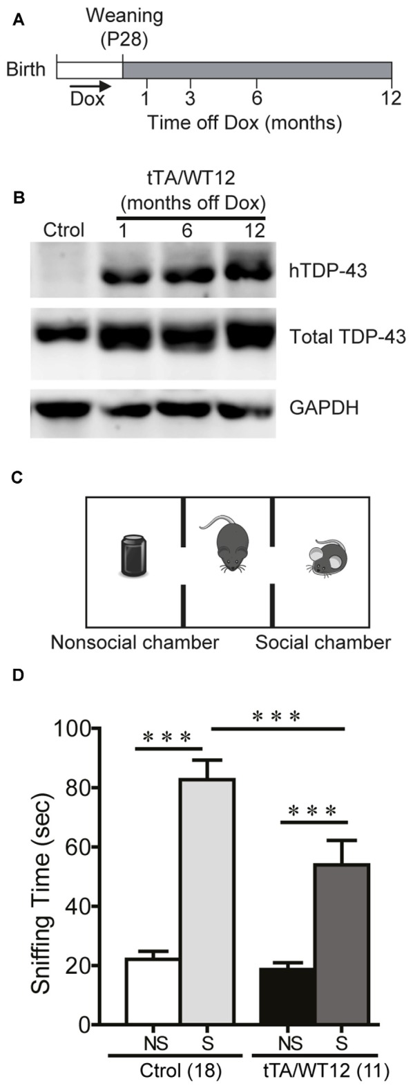Altered social behavior in TDP-43-WT transgenic (Tg) mice. (A) Experimental design: transgene expression was activated at weaning (postnatal day 28) by removing Dox from water. The behavioral responses of these Tg mice were analyzed at the indicated time points after weaning. (B) Expression of human TAR DNA-binding protein 43 (TDP-43) in Tg mice. Immunoblot of hTDP-43 or total TDP-43 (h+mTDP-43) in cortical RIPA extracts of control (non-Tg) and tTA/WT12 (1, 6 or 12 months off Dox) mice. GAPDH is a loading control. (C) Schematic view of the three-chamber social interaction apparatus, consisting of a black Plexiglas rectangular box with three interconnected chambers. (D) Time spent sniffing the social (S; P21-P28 mouse) or the non–social (NS; black plastic object) stimulus during a 10 min session (test phase) was recorded. 1 month off Dox bigenic mice (tTA/WT12) presented a reduced social interaction time during the session (*** p