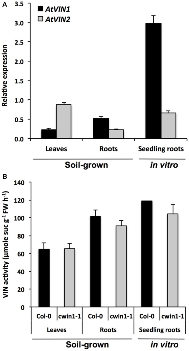Vacuolar invertase gene expression and activity in different Arabidopsis organs. (A) Relative gene expression of AtVIN genes was performed by RT-qPCR and results were normalized to the plant reference genes At4g26410 and AtACTIN2 ( At3g18780 ). Data represent mean (±SE) of 3 independent experiments. (B) VIN activity was assayed from frozen ground tissues of 5–6 week-old soil grown plants (leaves and roots) or 9-day-old seedling roots. Data represent mean (±SE) of 2 (seedling roots) or 3 (leaves and roots) independent experiments. No significant difference was determined between Col-0 and cwin1-1 by a Student's t -test ( P
