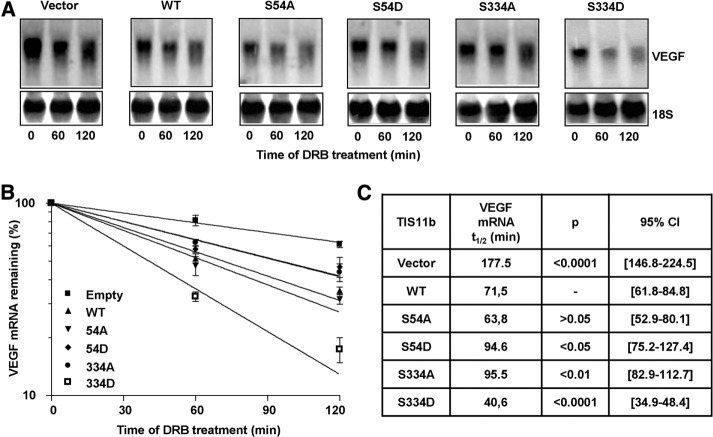 VEGF mRNA is more efficiently destabilized by the phosphomimetic TIS11b S334D mutant. (A) COS7 cells were transfected in 12-well plates with pTarget empty plasmid (Vector) or plasmids encoding WT or mutant TIS11b. AT 48 h after transfection, the transcription inhibitor DRB (10 μg/ml) was added, and total RNA was extracted at the indicated time points and analyzed by Northern blot. The membrane was hybridized to a radiolabeled VEGF 3′ UTR probe and rehybridized to 18S RNA probe for loading control. (B) VEGF mRNA levels were normalized to 18s RNA levels and plotted as a percentage of the initial value against time using nonlinear regression to a first-order exponential decay model. Shown are the mRNA decay rates from three pooled independent experiments. (C) VEGF mRNA half-lives were calculated and compared with the half-life of the transcript in the presence of WT TIS11b. p Values and 95% CIs were determined using an F -test.