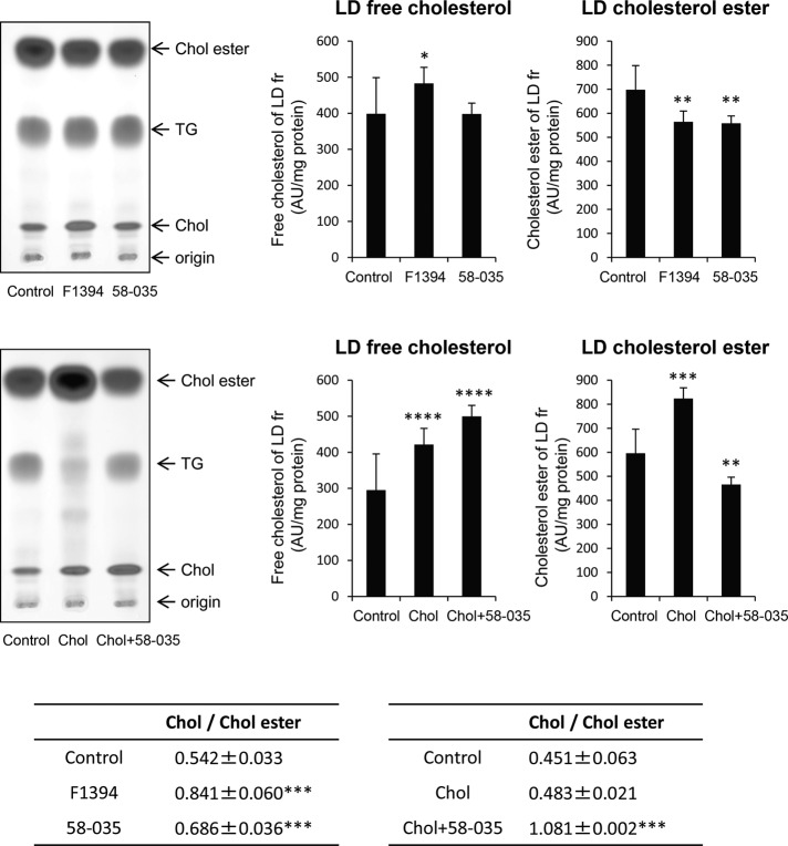 F1394 increases free cholesterol/cholesterol ester ratio in LDs. <t>Huh7</t> cells were cultured for 24 h in the absence (Control) or presence of 10 μg/ml F1394 or 10 μg/ml 58-035 or treated with MβCD/cholesterol in LPDS (Chol) or MβCD/cholesterol plus 58-035 in LPDS (Chol + 58-035) as described in Materials and Methods . LD fractions were prepared and lipids analyzed by <t>HPTLC</t> as described in Materials and Methods . Results indicate the mean ± SD ( n = 3). * p = 0.05, ** p