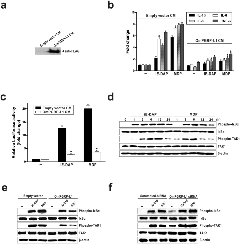 The effect of secreted OmPGRP-L1 on the NOD-induced NF-κB pathway in iE-DAP- and MDP-stimulated RTH-149 cells. ( a ) The secretion of OmPGRP-L1-FLAG recombinant protein in the conditioned media was confirmed by western blotting with a mouse monoclonal anti-FLAG antibody. ( b ) RTH-149 cells were cultured in 6-well plates, and the cell culture medium was replaced with the conditioned media containing the secreted OmPGRP-L1-FLAG recombinant protein (OmPGRP-L1 CM) or empty vector CM. Next, cells were stimulated with 10 μg/ml iE-DAP and 100 μg/ml MDP for 24 h, and the expression of pro-inflammatory cytokines was analysed by qRT-PCR. ( c ) RTH-149 cells were co-transfected with pNF-κB-Luc and pRL-TK vectors. At 48 h after transfection, the cell culture medium was replaced with conditioned media. Next, cells were stimulated with 10 μg/ml iE-DAP and 100 μg/ml MDP for 24 h, and NF-κB activity was measured as described in the Methods. ( d ) RTH-149 cells were stimulated with iE-DAP (10 μg/ml) and MDP (100 μg/ml) for the indicated times. Next, the phospho- and total forms of IκBα and TAK1 were assessed by western blotting. ( e , f ) RTH-149 cells were transfected with pcDNA3.1-OmPGRP-L1-FLAG, empty pcDNA3.1 vector, OmPGRP-L1 siRNA or scrambled-siRNA. At 48 h after transfection, cells (except control cells) were stimulated with iE-DAP (10 μg/ml) and MDP (100 μg/ml) for 6 h. Next, the phospho- and total forms of IκBα and TAK1 were assessed by western blotting. The data in ( b ) and ( c ) are shown as the mean ± SEM of three independent experiments performed in triplicate. *P