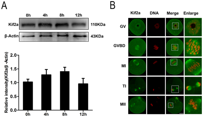Expression and subcellular localization of Kif2a during mouse oocyte meiotic maturation. ( A ) Western blotting results for expression of Kif2a were cropped gels. Oocytes were collected after culture for 0, 4, 8, 12 h, corresponding to the GV, Pro-M I, M I and M II stages, respectively. The molecular weight of Kif2a and β-actin were 110 kDa and 43 kDa, respectively. Each sample contained 200 oocytes. Full-length gels are presented in Supplementary Figure 1 . The intensity of Kif2a/β-actin was assessed by grey level analysis. ( B ) Subcellular localization of Kif2a shown by immunofluoresce nt staining and confocal microscopy. Oocytes at various stages (GV, GVBD, M I,T Iand M II) were stained with antibody against Kif2a. Green, Kif2a; red, DNA; Magnifications of the boxed regions are shown. Bar = 20 μm.