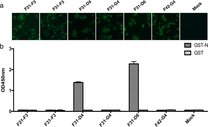 Selection of MAbs against PEDV N protein. ( a ) Six MAbs were proven to be positive by IFA using PEDV inoculated cells. ( b ) The six positive clones were then tested by ELISA against GST-fusion N protein and GST-tag expressed in Escherichia coli .