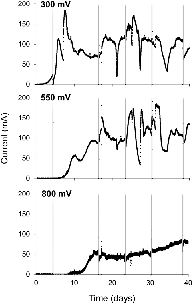 Chronoamperometric profiles at different anode potentials. The chronoamperometric output was from all 15 anodes within each reactor. The grey vertical lines indicate the times that the reactors were paused for biofilm sampling.