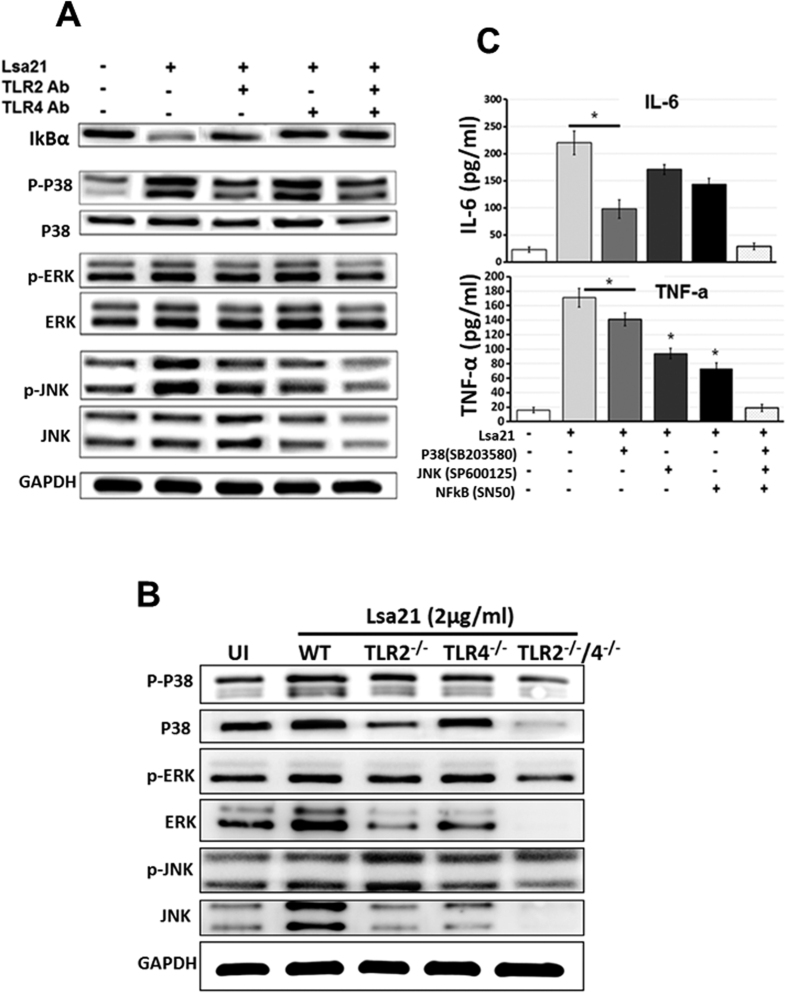 Analysis of signaling pathways involved in rLsa21-mediated cytokine production in mouse macrophages. ( A ) RAW264.7 cells were pretreated for 30 min at 37 °C with anti-TLR2 (30 μg/ml), anti-TLR4 (30 μg/ml), or an isotype control Ab (30 μg/ml) before stimulation with rLsa21 (5 μg/ml) for 30 min. Levels of phosphorylated <t>p38,</t> <t>JNK,</t> and ERK1/2 induced by rLsa21 and degraded IκBα were analyzed by western blot using anti–phospho-p38 (p-p38), or anti–phospho-ERK1/2 (p-ERK1/2), anti–phospho-JNK (p-JNK) and anti-mouse IκBα as well as a specific control Ab for each of the unphosphorylated kinases. Data are representative of those obtained in three independent experiments. ( B ) TLR2 −/− , TLR4 −/− or TLR2 −/− /TLR4 −/− DKO macrophages cell lines were stimulated with rLsa21 (5 μg/ml) for 30 min. Levels of phosphorylated p38, JNK, and ERK1/2 induced by rLsa21 were analyzed by western blot as described in materials and methods. ( C ) RAW 264.7 cells were pretreated for 30 min with NF-kB inhibitor (SN50; 20 μM), JNK inhibitor (SP600125; 40 μM) or p38MAPK inhibitor (SB203580; 30 μM) and then stimulated with rLsa21 (2 μg/ml). After incubation, supernatants were harvested and levels of IL-6 and TNF-α were measured by ELISA. Data are representative of three different experiments. (*Indicates P