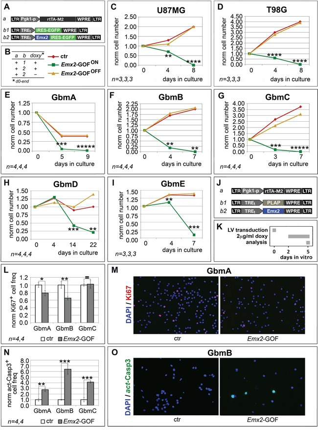 Population dynamics of Emx2 gain-of-function GBM cultures In vitro kinetic progression of U87MG, T98G, GbmA, GbmB, GbmC, GbmD and GbmE GBM lines C-I ., engineered by lentiviral vectors and TetON technology as in A, B. , and kept as adherent C, D. or floating cultures E-I. , under Fgf2 and Egf. Ki67 + proliferating L, M. and activated-Casp3 + apoptotic N, O. fractions of GbmA, GbmB and GbmC glioblastoma cells, engineered by control ( J. , a-b1) and Emx2 -GOF (J, a-b2) lentiviral sets, and kept as floating cultures according to the timetable in K. Cell numbers were normalized against t =0 values (C-I), or control values L, N. [As for (L, N), absolute average control cell frequencies were: 0.207, 0.155 and 0.131 (Ki67 + , in GbmA, GbmB and GbmC cultures, respectively); 0.001, 0.012 and 0.012 (actCasp3 + , in GbmA, GbmB and GbmC cultures, respectively)]. n is the number of biological replicates. p -value was calculated by t-test (one-tail, unpaired): * p