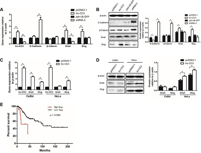 Lnc-CC3 promoted EMT in cervical cancer cells by increasing Slug expression ( A ) Lnc-CC3 overexpression increased the expression of Slug and Snail, and lnc-CC3 knockdown increased the expression of E-cadherin and β-catenin. ( B ) Changes in Slug, Snail, E-cadherin, and β-catenin protein levels in SiHa cells. The effects of lnc-CC3 overexpression on Snail and Slug mRNA ( C ) and protein ( D ) levels in CaSki and HeLa cells. The qRT-PCR data were analyzed using the 2 −ΔΔCT method and WB data were quantified by densitometry using ImageJ software. Data are expressed as mean ± SD of independent experiments ( n = 3), * p