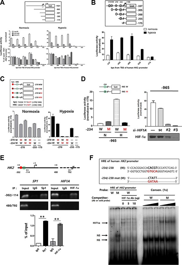 Identification of −234/−230 HRE, a key region in the HK2 promoter regulated by methylation ( A ) The promoter activity of HK2 promoter-deleted luciferase constructs was evaluated in HCC cell lines under normoxic and hypoxic conditions. Luciferase activity of all test constructs was normalized to that of the null construct. The relative luciferase activity was plotted as the percentage of the -1921 construct under normoxic or hypoxic conditions. ( B ) The promoter activity of HK2 promoter-deleted luciferase constructs under normoxic or hypoxic conditions using Hep3B cells (rectangle; putative HRE, circle; putative Sp1-binding site). ( C ) The HK2 promoter site-specific mutant luciferase constructs for putative HIF-1α and Sp1 binding sites were constructed as described in the upper panel. The promoter activity of each mutant construct under normoxic or hypoxic conditions is shown as the luciferase activity relative to the −175 construct (red closed circle; putative Sp1-binding site, green open rectangle; putative HRE). ( D ) The luciferase activity of the −965W and −965M under normoxic (N) or hypoxic (H) conditions. ( E ) The interaction between the −234/−230 HRE and HIF-1α was evaluated by ChIP assay. Sp1 was used as a positive control. The −302/−114 region and a non-relevant region (480/792) designed as shown in the upper panel were amplified by PCR. The specific interaction was plotted as the percentage of the input in the lower panel. ( F ) EMSA experiment involving the −234/−230 HRE and the mutant version (HREm) on the human HK2 promoter. The oligonucleotides shown in the upper panel were labeled and incubated with nuclear extracts from Hep3B cells. NS, non-specific bands.