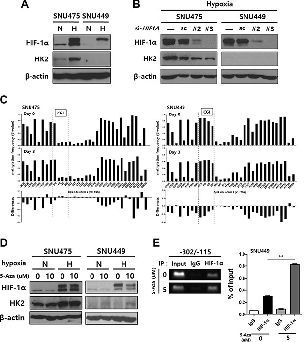 The induction of HK2 expression in HK2negative SNU449 cells by treatment with 5-Aza-CdR and hypoxia ( A ) Hypoxia-mediated HK2 expression. ( B ) The suppression of HK2 expression by HIF-1α silencing. ( C ) The methylation status of the HK2 promoter CpGs plotted for the 5-Aza-CdR-treated SNU475 cells and SNU449 cells. The difference in methylation frequency between 5-Aza-CdR-treated cells and untreated cells is shown in each lower panel. ( D ) The induction of HK2 expression in SNU475 and SNU449 cells by treatment with 5-Aza-CdR for 2 d, followed by hypoxic stimuli for 1 d. In all experiments, the expression of HIF-1α and HK2 were evaluated by immunoblot. ( E ) The interaction between the −234/−230 HRE and HIF-1α following 5-Aza-CdR treatment was evaluated using a ChIP assay.