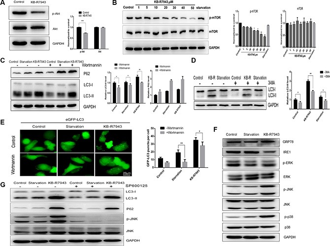 KB-R7943 induced autophagosome accumulation by downregulating the PI3K/AKT/m-TOR pathway and upregulating the JNK pathway ( A ) KB-R7943 inhibited Akt phosphorylation. PC3 cells were treated with full medium or 30 μM KB-R7943 for 24 h. Densitometric quantitation of p-Akt and Akt normalized to GAPDH is shown. ( B ) KB-R7943 inhibited mTOR phosphorylation. PC3 cells were treated with full or serum-starved media or the indicated concentrations of KB-R7943 for 24 h. Densitometric quantitation of p-mTOR and mTOR normalized to GAPDH is shown. ( C and D ) Wortmannin and 3-MA reduced KB-R7943-induced LC3-II levels. PC3 cells were pretreated with Wortmannin (100 nM) or 3-MA (5 mM) for 2 h followed by treatment with full or serum-starved media or 30 μM KB-R7943 for 24 h in the presence of Wortmannin (100 nM) or 3-MA (5 mM). Densitometric quantitation of LC3-II and P62 normalized to GAPDH is shown. ( E ) eGFP-LC3-PC3 cells were pretreated with Wortmannin (100 nM) for 2 h followed by treatment with full or serum-starved media or with 30 μM KB-R7943 for 24 h in the presence of Wortmannin (100 nM). ( F ) Western blot analysis of p-ERK, ERK, p-JNK, JNK, p-p38, p38, GRP-78, IRE1, and GAPDH levels in cells treated with full or serum-starved media or with 30 μM KB-R7943 for 24 h. ( G ) Western blot analysis of p-JNK, JNK, LC3-II, p62, and GAPDH levels in cells treated with full or serum-starved media or with 30 μM KB-R7943 in the presence or absence of 10 μM SP600125 for 24 h. The data are shown as means ± SD, n = 3. *P