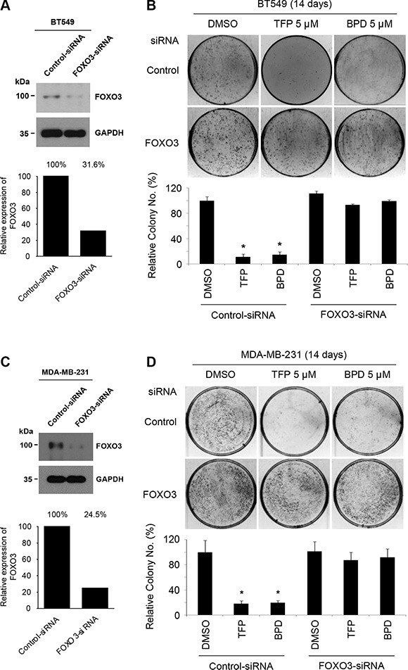 TFP and BPD suppress the colony-forming ability of TNBC cells in a FOXO3-dependent manner ( A – B ) (A) BT549 cells were transfected with control-siRNA or FOXO3-siRNA for 48 h. The indicated proteins were detected by immunoblotting with specific antibodies (Abs) against FOXO3 and GAPDH (loading control). (B) The transfected cells were treated with TFP, BPD or DMSO (negative control) for 14 days and stained with crystal violet solution. Top (upper panels): the representative pictures of the assays are shown. Bottom (lower panels): the numbers of colonies in the drug (TFP or BPD)-treated plates were compared with those of the DMSO-treated plates. The results are graphed as mean ± SEM numbers of cell colonies. The number of biological replicates is three. * P