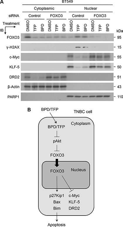 TFP and BPD significantly reduce the expression of oncogenic c-Myc, KLF5, and DRD2 in TNBC cells in a FOXO3-dependent manner ( A ) BT549 cells were transfected with control-siRNA or FOXO3-siRNA for 24 hours, transfected cells were treated with TFP, BPD or DMSO (control) for 48 hours, harvested, and fractionated for preparing cytoplasmic and nuclear extracts. Equal amount of each fraction was analyzed by immunoblotting (IB) analysis with the specific antibodies as indicated. Proteins β-Actin and PARP1 represent the fractionation and loading controls of the cytosolic and nuclear fractions, respectively. ( B ) A diagram represents the model for the FOXO3-dependent anticancer function of BPD and TFP. A schematic shows that BPD and TFP inhibit phosphor-Akt (pAkt) and lead to FOXO3 translocation from the cytoplasm into the nucleus, where FOXO3 can upregulate the expression of p27Kip1, Bax, and Bim proapoptotic proteins [ 17 , 19 , 41 ]. Moreover, BPD and TFP downregulate of the expression of c-Myc, KLF5 and DRD2 oncogenic survival proteins in a FOXO3-dependent manner. As a result of this FOXO3-mediated apoptotic pathway, BPD and TFP promote TNBC cell apoptosis.