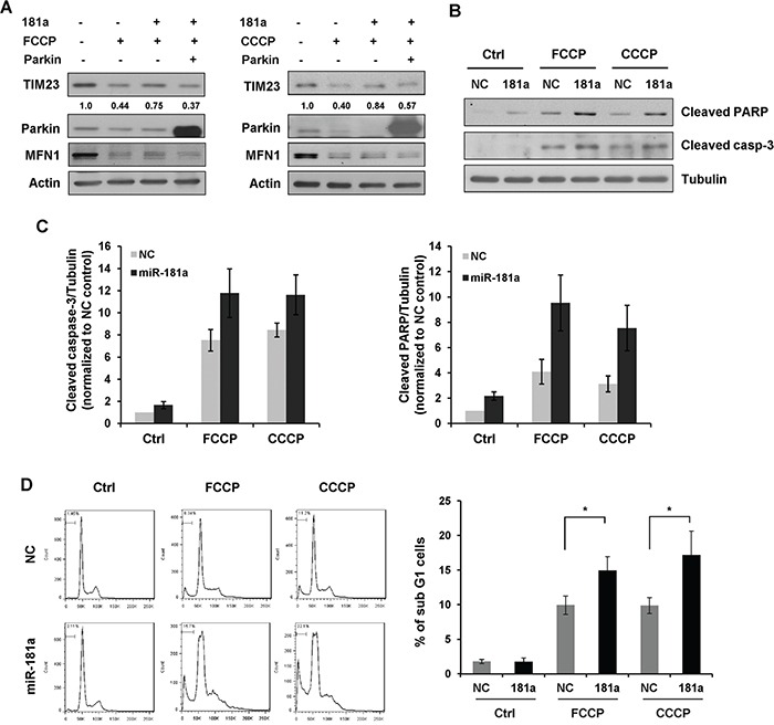 miR-181a sensitizes neuroblastoma cells to apoptosis induced by mitochondrial uncouplers A. Overexpression of Parkin restores the inhibitory effect of miR-181a on mitophagy. SH-SY5Y cells were transfected with miR-181a and Parkin plasmid as indicated. Cells were then cultured in the presence or absence of FCCP (10 μM) or CCCP (10 μM) for 12 h. Samples were collected for western blot to analyze the protein expression of TIM23, Parkin, MFN1 and Actin. B. SH-SY5Y cells transfected with miR-181a or NC were treated with 25 μM FCCP or CCCP for 24 h. Western blot was performed to analyze the status of cleaved caspase-3, cleaved PARP and Tubulin. C. Densitomeric analysis of cleaved caspase-3/Tubulin and cleaved PARP/Tubulin protein ratios. D. Flow cytometry analysis of sub G1 population in SH-SY5Y cells treated with FCCP or CCCP for 24 h. Data shown are means±s.d. from three independent experiments, *p