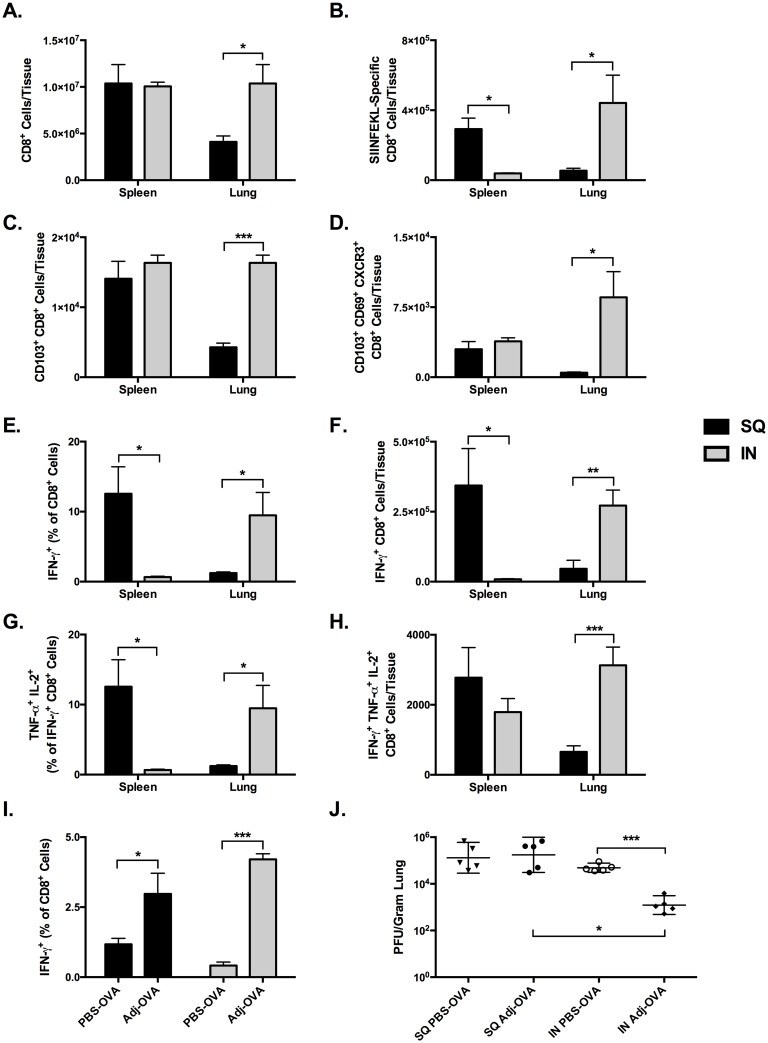 Comparison of CTL Memory and Recall Responses in Lung and Spleen after SQ or IN Prime-boost Vaccination with OVA. C57BL/6 mice were immunized intranasally with 10 μg of OVA in 50 μl PBS with 5% ADJ (SQ) or 10% ADJ (IN) twice at 3 week intervals. Lung and spleen were collected 3 weeks after the second vaccine. ( A-F) Lung cells and splenocytes were stained with anti-CD8, anti-CD44, anti-CD62L, anti-CD103, anti-CD69, anti-CXCR3 and K b /SIINFEKL tetramers; cells were acquired on a flow cytometer. ( A ) Absolute numbers of CD8 T cells in the lung and spleen. ( B ) Absolute numbers of SIINFEKL-specific tetramer-binding CD8 T cells in the lung and spleen. ( C ) CD103 + SIINFEKL-specific CD8 T cells in lung and spleen. ( D ) Absolute numbers of SIINFEKL-specific tetramer-binding resident memory-like CD103 + CD69 + CXCR3 + CD8 T cells in the lung and spleen. ( E-H ) Lung cells and splenocytes were stimulated with the SIINFEKL peptide and the percentages of IFN-γ + IL-2 + TNF-α + CD8 T cells were quantified by flow cytometry. ( E ) Frequency of SIINFEKL-specific IFN-γ + CTLs among all CD8 + cells in lungs and spleen. ( F) Absolute numbers of SIINFEKL-specific IFN-γ + CTLs. ( G ) Frequency of SIINFEKL-specific IFN-γ + IL-2 + TNF-α + CTLs among all CD8 + cells. ( H) Absolute numbers SIINFEKL-specific IFN-γ + IL-2 + TNF-α + CTLs. ( I-J) C57BL/6 mice were immunized intranasally with 10 μg of OVA in 50 μl PBS with 5% ADJ (SQ) or 10% ADJ (IN) twice at 3 week intervals. 3 weeks after the second immunization, mice were challenged by intranasal administration of 500 PFU of recombinant influenza A/PR/8/34-OT-I H1N1 expressing the OVA SIINFEKL peptide. 6 days after challenge 5 mice/group were sacrificed and lungs were collected for quantification of CTLs and viral titration. ( I) Frequency of SIINFEKL-specific IFN-γ + CD8 + T cells among all CD8 + lung mononuclear cells. ( J) Lung viral titers expressed as plaque-forming-units (PFU) per gram of lung. * indicates p