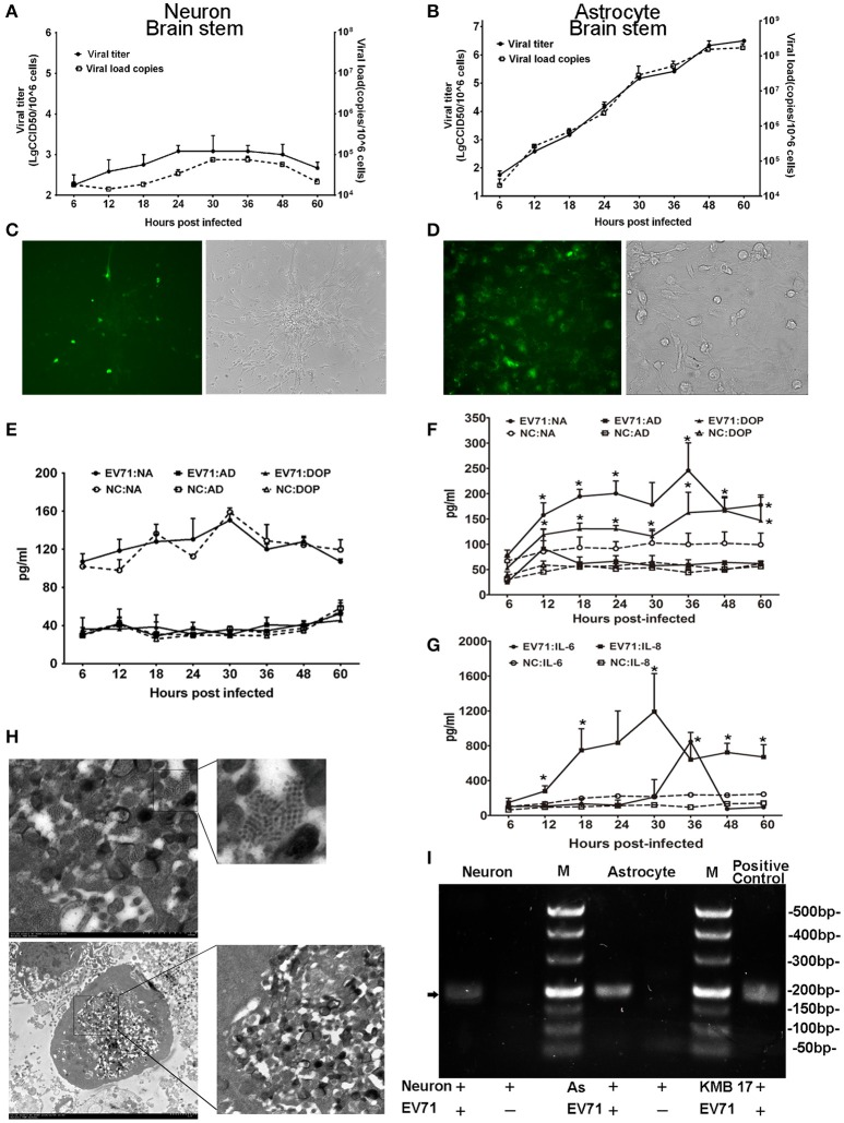 Detection of EV71 replication in cultured neurons and astrocytes in vitro . Proliferation of the virus in cultured human neurons (A) and astrocytes (B) was measured based on virus titration and the viral load from 6 to 60 h p.i. Immunofluorescence microscopy observations of the EV71 antigen in cultured EV71-infected neurons (C) images are shown at 100 × magnification) and astrocytes (D) images are shown at 400 × magnification.). Monoamine release by neurons (E) and astrocytes (F) from 6 to 60 h p.i. Cytokines released by astrocytes (G) between 6 and 60 h p.i. The cells were infected with EV71 (MOI = 0.05). NA, noradrenalin; AD, adrenalin; DOP, dopamine; NC, negative control. * p ≤ 0.05, compared with the corresponding control group. (H) A characteristic lattice-like arrangement of viral particles was observed in human astrocytes induced by EV71 infection as observed by TEM. Astrocytes were infected with EV71 (MOI = 0.1), and samples were collected at 24 h p.i. (I) Presence of negative-stranded RNA genomes in the cells is shown (black arrow). M, marker; AS, astrocyte.