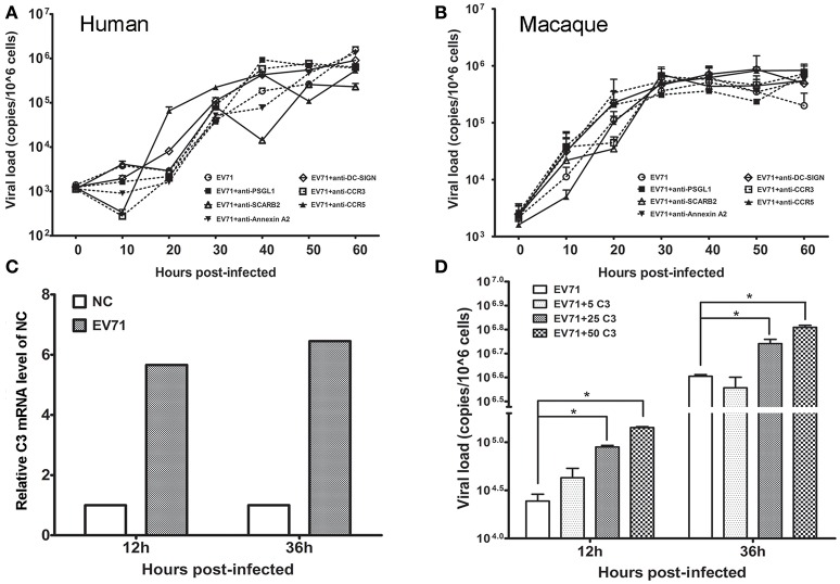 Effect of astrocyte engulfment on EV71 infection in astrocytes . Antibodies against EV71-specific receptors failed to inhibit EV71 infection in human (A) and macaque astrocytes (B). (C) Detection of complement C3 mRNA expression in infected human astrocytes. NC: negative control. (D) Incubation of complement and virus facilitates viral replication in human astrocytes, with a peak at 12–36 h. The viral loads of the infected astrocytes and relative expression of complement mRNA were measured using TaqMan-based qRT-PCR. β-actin was used as the house keeping gene.