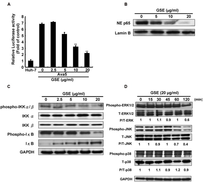 """Grape seed extract reduced NF-κB transactivity and MAPK phosphorylation for suppression of COX-2 expression in HCV replicon cells. (A) GSE reduced NF-κB transactivity in Ava5 cells. Ava5 cells were transiently transfected with pNF-κB-Luc, which contained an NF-κB binding element linked firefly luciferase reporter gene. The pNF-κB-Luc-transfected cells were treated with 20 μg/ml of GSE for 3 days. Subsequently, the extracted lysates of transfected cells were analyzed by luciferase activity assay. The relative NF-κB transactivity was presented as fold changes compared to parental Huh-7 cells in which luciferase activity was presented as 1. The GSE treatment downregulated (B) NF-κB phosphorylation and (C) the HCV-induced NF-κB signaling pathway. Ava5 cells were treated with GSE in different concentrations (0–20 μg/ml) for 3 days and the nuclear lysates were isolated as described in Section """"Materials and Methods."""" The nuclear translocation of NF-κB were analyzed by Western blotting with anti-phospho-p65 and anti-Lamin B (loading control) antibodies. The effects of GSE on NF-κB regulation were analyzed by Western blotting with various antibodies against IKKα, phospho-IKKα/β, IκB-α, phospho-IκB-α, and GAPDH (loading control). (D) GSE treatment reduced the phosphorylation level of ERK and JNK. Ava5 cells were treated with 20 μg/ml of GSE and the lysates extracted at the indicated time points after the treatment. The protein expressions were analyzed by Western blotting with antibodies against MAPK (ERK1/2, p38, and JNK), phospho-MAPK (p-ERK1/2, p-p38, and p-JNK), and GAPDH (loading control). Data are represented as the mean ± SD for three independent experiments. ∗ P"""
