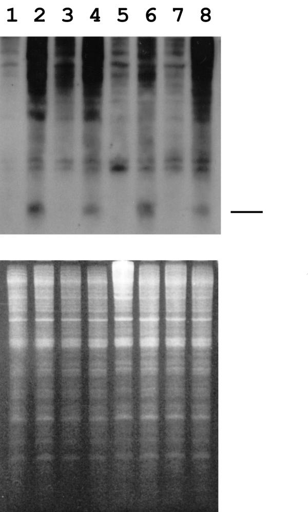Detection of small  lacZ  gene-specific RNA.  Total RNA was isolated from  Drosophila  cell cultures and fractionated by chromatography using sepharose CL-2B agarose (Sigma) in Micro Bio-Spin columns (Bio Rad). Fractionated samples were analysed in 15% polyacrylamide-UREA gels and stained with ethidium bromide before the RNA species were transferred to Hybond N+ membrane (Amersham) by electroblotting. The membrane was probed with an antisense digoxigenin-labelled lacZ transcript corresponding to ~500 nt at the 5' end of the  lacZ  gene. The upper panel shows the small RNA species detected by probing with a lacZ gene-specific probe in DS2 cells (lanes 1, 2), DS2-HC-Pro cells (lanes 3, 4), DS2-2b cells (lanes 5, 6) and DS2-16k cells (lanes 7, 8). Cells represented in lanes 1, 3, 5 and 7 were transfected with pMT/V5-His/lacZ and those represented in lanes 2, 4, 6 and 8 were transfected with pMT/V5-His/lacZ and dsRNA. The line to the right indicates the position of GFP specific siRNAs produced in plants as described by Canto et al. (47). The lower panel shows the RNA species detected by staining of the gel before electroblotting.