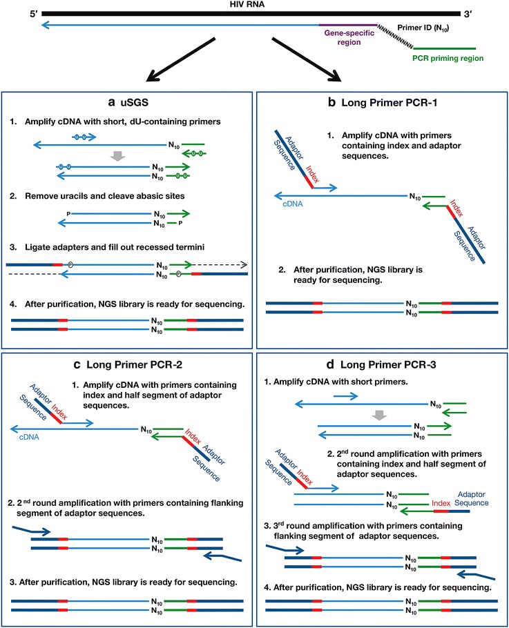 Schematic representation of the methods used for NGS library construction. A cDNA library labeled with Primer IDs ( top ) is divided and used for each method. a uSGS. Short PCR primers (25 and 31 bases) containing 5′ dU in place of dT residues ( dots in the primers) are used to amplify the cDNA. Products are cleaved at the dU sites creating dsDNA with 17-nt 3′-overhangs at both ends. The ends are then ligated to the essential NGS adapters and filled out using Klenow Fragment DNA polymerase to generate a fully double-stranded NGS library. b Long primer PCR-1. Long primers (90 and 93nt) containing NGS adapter sequences are used to amplify the cDNA library. c Long primer PCR-2. Relatively long primers (50–61nt) are used in 2 rounds of flanking PCR to amplify the cDNA and attach the adaptors. d Long primer PCR-3 involves 3 rounds of PCR. The cDNA is amplified with short primers (25 and 31 bases) followed by 2 rounds of flanking PCR using long primers (50–61nt) to attach the adaptors