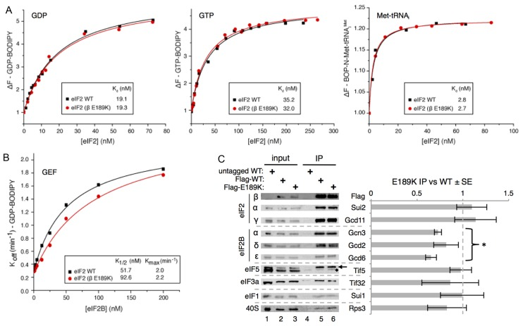 E189K has a modest impact on eIF2–eIF2B interaction and activity. ( A ) Affinity ( K d ) of <t>GDP,</t> GTP and Met–tRNA i to purified WT and mutant (β E189K) apo–eIF2 complexes measured by monitoring the fluorescence intensity of 100 nM <t>BODIPY-FL-GDP</t> (left), 100 nM BODIPY-FL-GTP (middle) or 20 nM BOP-N-Met–tRNA i with 1 mM GTP (right). ( B ) Kinetics of BODIPY-FL-GDP release from preformed eIF2 complexes in the presence of different eIF2B concentrations. K 1/2 and K max values were determined from curve fitting y = [( K max × x)/( K 1/2 + x)] + c. ( C ) Western blotting of IP of Flag-eIF2β, Flag-E189K and an untagged control from cells showing its co-association with known binding proteins. Quantification of at least three repeats using Li-Cor fluorescent secondary antibodies ±SE. Student's t -test indicates significant reduction in eIF2B–eIF2 interactions ( P = 2.9 × 10 −6 ) with E189K (marked *). Other factors are not significantly altered. Tif5 is indicated with an arrow, '♦' marks a non-specific band.