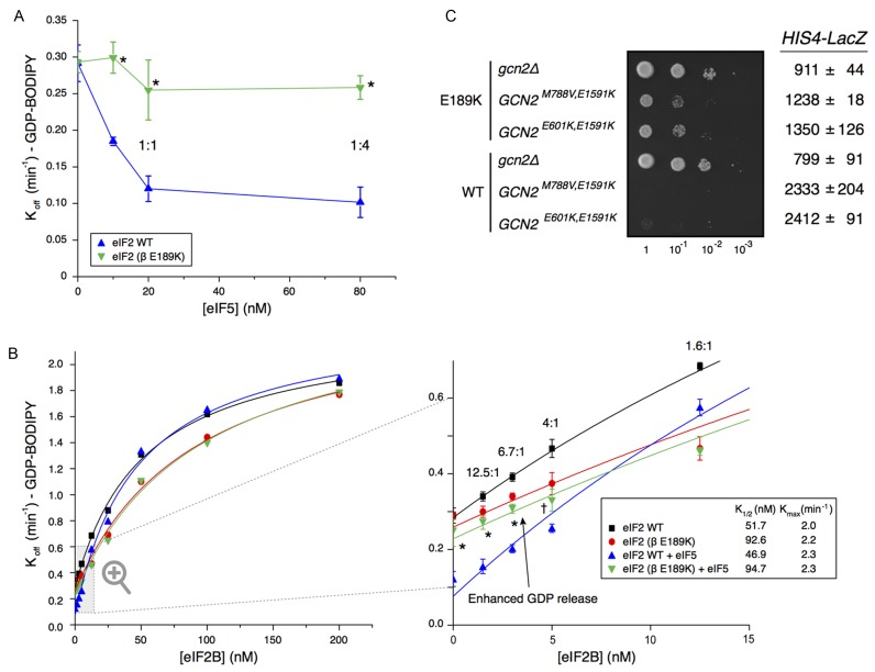 E189K antagonizes eIF5 GDI activity. ( A ) Kinetics of BODIPY-FL-GDP release from preformed purified WT and mutant (β E189K) eIF2•GDP complexes (20 nM) with varying concentrations of GST-eIF5 ± SD ( n = 3). Molar eIF2:GST–eIF5 protein ratios are shown. Asterisks (*) mark points with statistically significant difference to WT ( P