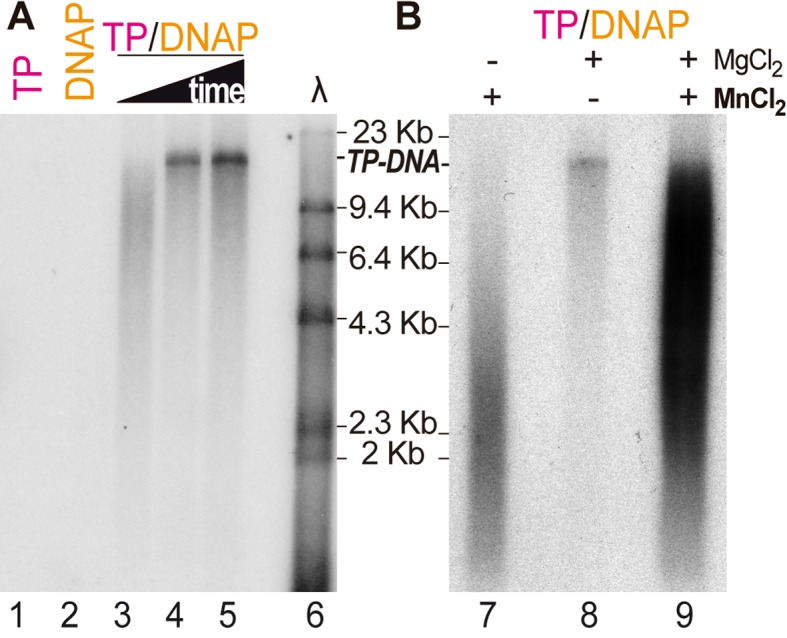 Bam35 protein-primed genome replication. Alkaline agarose gel electrophoresis of TP-DNA replication products. Samples contained 11 nM B35DNAP and 133 nM TP, as indicated, and 100 ng of Bam35 TP-DNA. See Materials and Methods for details. ( A ) Reactions were triggered by addition of 10 mM MgCl 2 and incubated for 1, 2 and 4 h (lanes 3–5). ( B ) Reactions were triggered by 10 mM MgCl 2 and/or 1 mM MnCl 2 as indicated and incubated for 2 h. A λ-HindIII DNA ladder was loaded as a size marker, and the expected size of the Bam35 TP-DNA product is also indicated.