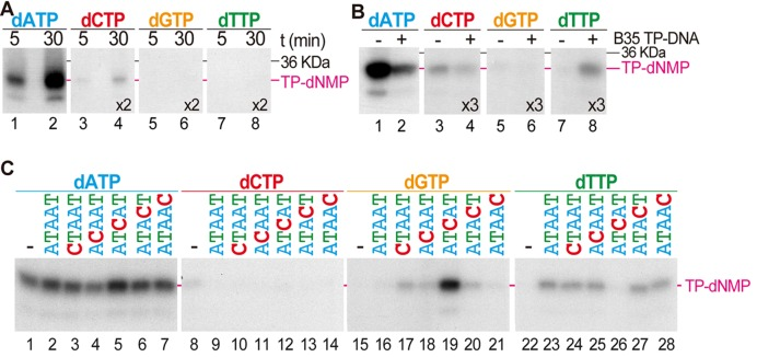 Deoxynucleotide specificity for Bam35 TP initiation reaction. B35DNAP and TP were incubated in template-independent ( A ) or TP-DNA directed ( B ) initiation assays. Template sequence determination of Bam35 TP initiation reaction is shown in ( C ). Initiation assays either in the absence of template (panel C, lanes 1, 8, 15 and 22) or with single stranded 29-mer oligonucleotide template containing the sequence of the genome left end or variants of this sequence (Supplementary Table S1). The deoxynucleotide used as well as the first six nucleotides of the template oligonucleotide sequence (in the 3′-5′ direction) are indicated above the gels. Reactions were triggered with MnCl 2 (see Materials and Methods). Longer autoradiography exposition times, related to the dATP assays, are indicated for each provided deoxynucleotide.