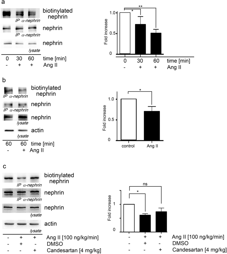 Ang II promotes nephrin endocytosis. ( a ) Ang II induces the endocytosis of nephrin in HEK293T cells significantly in a time dependent fashion. The <t>biotinylated</t> nephrin fraction decreases the longer the Ang II exposure lasts (Kruskal-Wallis test: *n = 5, p = 0.04; **n = 5, p = 0.009). The AT1-receptor plasmid was cotransfected in all conditions to the AT1-receptor deficient HEK293T cells. ( b ) Nephrin endocytosis in murine podocytes is significantly enhanced by Ang II (*n = 5, p = 0.03). Biotinylated nephrin is significantly decreased in mouse podocytes when they are stimulated with Ang II. ( c ) Nephrin endocytosis in mice without and with Ang II stimulation and additional candesartan treatment. Biotinylated nephrin is significantly decreased in Ang II treated animals compared to control mice and restored to nearly control levels by additional candesartan treatment. (*Kruskal-Wallis test: n = 5, p = 0.02).