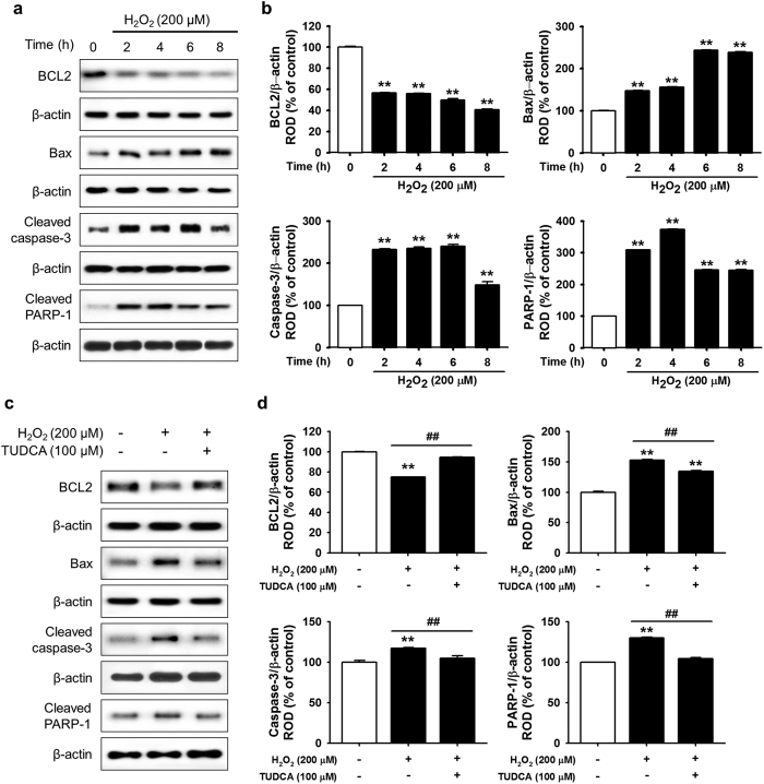 Protective effect of TUCDA against ER stress-induced apoptosis of MSCs. ( a ) Western blot analysis showing the expression of BCL-2, Bax, cleaved caspase-3, and cleaved PARP-1 after treatment of MSCs with H 2 O 2 (200 μM) for the indicated times (0, 2, 4, 6, or 8 h). ( b ) The expression levels of BCL-2, Bax, cleaved caspase-3, and cleaved PARP-1 were normalized to that of β-actin. Values represent the mean ± SEM. ** P