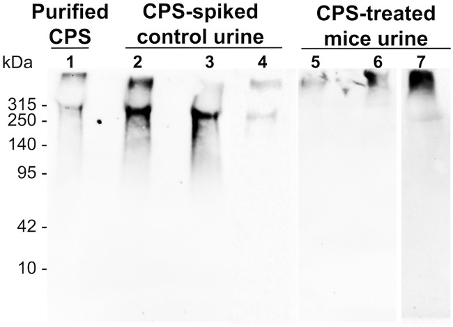 Western blot analysis of excreted CPS. Purified CPS (lane 1) and urine samples (lanes 2–7) were separated on 7.5% SDS-PAGE gels. All samples including purified CPS were incubated with proteinase K at 60°C for 1 hour, followed by boiling for 10 min before loading on the gels. Lanes 2, 3, and 4 were loaded with control urine spiked with CPS and incubated at 37°C for 30 min, 2 hours, and 8 hours, respectively. Lanes 5, 6, and 7 were urine from CPS-injected mice collected at 30 min, 2 hours, and 8 hours post-injection, respectively. The volume of sample loaded into each lane was adjusted to contain an equal amount of CPS, approximately 1 μg/lane. After blotting, membranes were probed with mAb 4C4 (1 μg/mL). Intact CPS was observed in urine samples from CPS-treated mice.