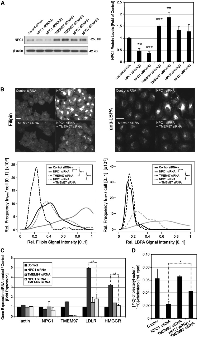 SiRNA-mediated knockdown of TMEM97 increases NPC1 protein levels, ameliorates cholesterol accumulation and restores cholesterol delivery to the ER in NPC1 -deficient HeLa cells. ( A ) Cultured HeLa cells were transfected for 48h with either control siRNA or indicated <t>siRNAs</t> targeting NPC1 , TMEM97 or <t>NPC2</t> . Whole cell lysates were subjected to Western blotting and probed with antibodies against NPC1 and β-actin. NPC1 protein levels were quantified as a ratio to β-actin and normalized to levels of control siRNA treated cells ( n = 3 independent experiments per condition; ** P