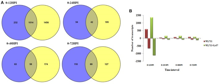 (A) Venn diagram showing overlap of differentially expressed genes between WL711 (blue) and WL711+ Lr57 (yellow) genotypes at different time points; (B) Regulation of differentially expressed genes between WL711 and WL711+ Lr57 .