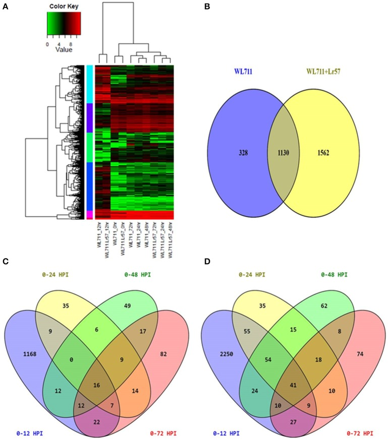 (A) Expression profiling of differentially expressed genes in both WL711 and WL711+ Lr57 . Horizontal row represents the gene and vertical columns denote samples. (B) Venn diagram showing the distribution of differentially expressed genes in WL711 and WL711+ Lr57 . (C) Distribution of differentially expressed genes at different time points post inoculation in WL711. (D) Distribution of differentially expressed genes at different time points post inoculation in WL711+ Lr57 .