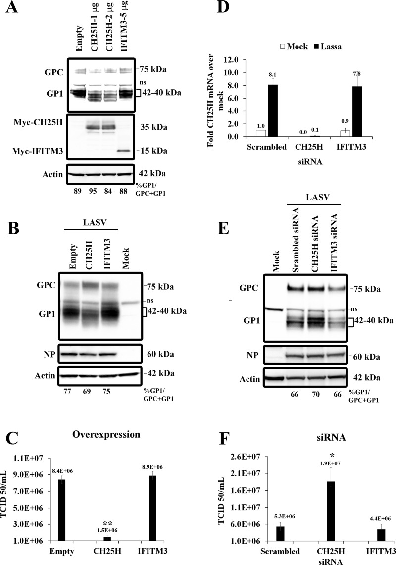 Effects of CH25H overexpression and knockdown on LASV infectivity and GP1. (A) Huh7 cells were transfected with empty vector or plasmid expressing Myc-tagged cholesterol 25-hydroxylase (CH25H) or Myc-tagged IFITM3. After 24 h, the cells were transfected with LASV GPC. Transfected cells were harvested 48 h later, and GP1 was detected by Western blotting. The membranes were stripped and reprobed, first with anti-Myc antibody and then with antiactin antibody. ns, nonspecific binding. (B) Huh7 cells transfected with CH25H or IFITM3 were infected with LASV at an MOI of 0.1 24 h posttransfection. Cell lysates and supernatants were collected at 72 hpi. Western blotting was used to detect GP1, NP, and actin. (C) Huh7 cells were transfected with plasmid expressing CH25H or IFITM3 and infected with LASV. Cell supernatants were collected at indicated times after infection, and LASV titers were determined by TCID 50 assays in Vero-E6 cells. (D) Huh7 cells were transfected with the indicated siRNAs and then either mock infected or infected with LASV at an MOI of 1.0 in medium containing 5% lipoprotein-deficient serum. After 24 h, lysates were prepared, and CH25H expression was analyzed by qRT-PCR. CH25H levels were normalized to levels of GAPDH in each sample. (E) Huh7 cells were transfected with indicated siRNAs and infected with LASV. After 24 h, lysates were collected, and Western blotting was used to detect GP1, NP, and actin. (F) Huh7 cells were transfected and infected with LASV as described for panel E. After 24 h, supernatants of infected cells were collected, and LASV titers were determined by TCID 50 assays in Vero-E6 cells. *, P