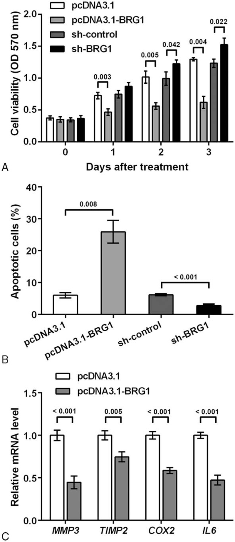 Effects of Brahma-related gene 1 (BRG1) on viability, apoptosis, and inflammatory factor expression in rheumatoid fibroblast-like synoviocyte MH7A cells. MH7A cells were transfected with pcDNA3.1-BRG1 vector to overexpress BRG1 or short hairpin RNA (shRNA) vector of BRG1 (sh-BRG1) to knock down BRG1. Blank vectors pcDNA3.1 and sh-control were transfected in the corresponding control group. (A) BRG1 inhibits cell viability as indicated by optical density (OD) at 570 nm. MTT was performed to detect cell viability at 0, 1, 2, and 3 d post-transfection. (B) BRG1 increases percent of apoptotic cells as quantified by flow cytometry at 48 h post-transfection. (C) BRG1 suppresses the mRNA level of inflammatory factors matrix metallopeptidase 3 ( MMP3 ), TIMP metallopeptidase inhibitor 2 ( TIMP2 ), cyclooxygenase 2 ( COX2 ), and interleukin 6 ( IL6 ) as revealed by qPCR at 48 h post-transfection. P values are indicated. BRG1 = Brahma-related gene 1, COX2 = cyclooxygenase 2, IL6 = interleukin 6, MMP3 = matrix metallopeptidase 3, MTT = 3-(4,5-dimethylthiazol-2-yl)-2,5-diphenyltetrazolium bromide , OD = optical density, qPCR = quantitative polymerase chain reaction, shRNA = short hairpin RNA, TIMP2 = TIMP metallopeptidase inhibitor 2.