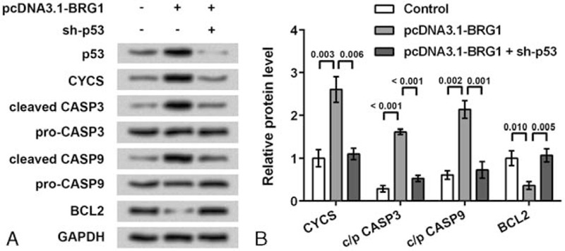 Regulation of apoptotic factors by BRG1 depends on p53. Rheumatoid fibroblast-like synoviocyte MH7A cells were transfected with pcDNA3.1-BRG1 vector to overexpress BRG1, or the short hairpin RNA for p53 (sh-p53) to knockdown p53. Western blot was performed at 48 h post-transfection. (A) Western blot showing that apoptotic factors cytochrome c (CYCS), cleaved caspase 3 (cleaved-CASP3), cleaved-CASP9, and B-cell CLL/lymphoma 2 (BCL2) were regulated by BRG1, but the regulation was suppressed when p53 was knocked down. (B) Relative protein levels calculated based on the band density in Western blot results. P values are indicated. BCL2 = B-cell chronic lymphocytic leukemia/lymphoma 2, BRG1 = Brahma-related gene 1, cleaved-CASP3 = cleaved caspase 3, CYCS = cytochrome c.