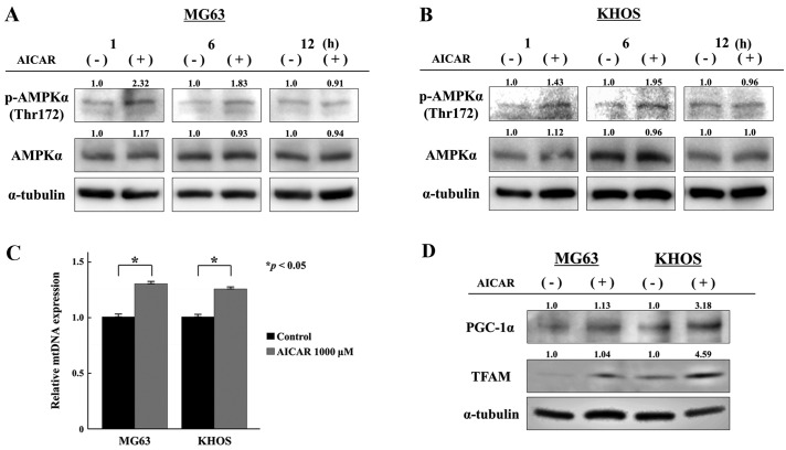 AMPK phosphorylation and mitochondrial proliferation after AICAR treatment in osteosarcoma cells. (A and B) The levels of AMPKα and phosphorylated AMPKα (Thr172) were evaluated by immunoblot analyses after 30 min, 1 and 6 h of AICAR treatment (1,000 µ M) in (A) MG63 and (B) KHOS osteosarcoma cells. Positive bands were semiquantified by densitometrical analyses using ImageJ software. Values were normalized against α-tubulin and presented as a ratio. (C) Relative mtDNA copy numbers to nDNA in AICAR-treated osteosarcoma cell lines were evaluated by quantitative real-time PCR after 72 h of treatment. Data represent the mean ± SEM of at least three independent experiments ( * p