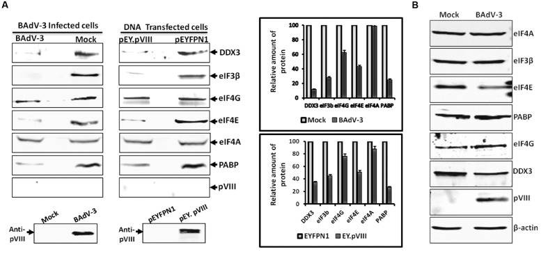 m7GTP-sepharose binding assay. (A) The supernatant of the lysates of the cells collected at 36 h post BAdV-3 infection of MDBK cells (mock or BAdV-3) or transfection of 293T cells with plasmid DNAs (pEY.pVIII or pEYFPN1) were incubated with m7GTP sepharose cap affinity beads. After washing, the bound proteins were analyzed by Western blot using indicated protein specific antibodies and IRDye 800 conjugated goat anti-mouse IgG or Alexa Flour 680 goat anti-rabbit IgG as secondary antibody. The intensity of the bands of the Western blot in all cases was analyzed by Odyssey Software v2.1. The relative amount of proteins in BAdV-3 infected or pEY.VIII transfected cell lysates that are retained in the 7-methyl GTP resins as compared to mock infected or pEYFPN1 transfected cells, respectively (i.e., considering the amount of protein in mock infected or pEYFPN1 transfected cell lysates that are retained in the m7GTP resins as 100%) is plotted. Error bars indicate SE of means for three separate experiments. Proteins from the lysates of BAdV-3 infected or transfected cells were separated by 10% SDS-PAGE and probed in Western blot using anti-pVIII serum. (B) Proteins from the lysates of mock infected or BAdV-3 infected MDBK cells collected at 36 h post infection were separated by 10% SDS-PAGE and analyzed by Western blot using protein specific antibody and anti-rabbit IRDye 800 conjugated goat anti-mouse IgG (Li-COR biosciences) or Alexa Flour 680 goat anti-rabbit IgG as secondary antibody. β-actin was used as a loading control.