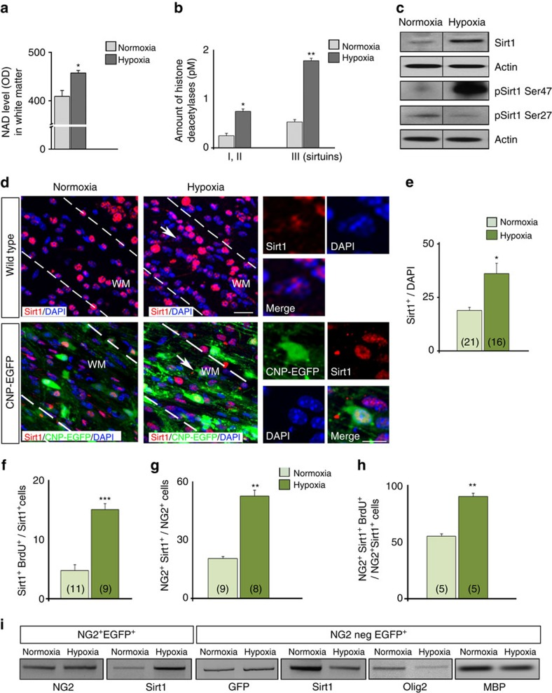 Neonatal HX increases Sirt1 expression in OPCs of the white matter. ( a ) <t>NAD</t> level in white matter after NX and HX expressed in optical density (OD) units. Mean±s.e.m., four independent experiments, two brains per condition measured in triplicate. ( b ) Levels of histone deacetylases class I+II and III in white matter in NX and HX expressed in pmol l −1 (pM). Mean±s.e.m., two independent experiments, three brains per condition in triplicate. ( c ) Representative western blot of Sirt1, and pSirt1 Ser47 and pSirt1 Ser27 in NX and HX white matter (P18).( d ) Confocal images of Sirt1 + cells in NX and HX white matter in WT and CNP-EGFP mice. Dotted lines delineate white matter. WM, white matter. Scale bar, 100 μm. Arrows indicate magnified cells. HX increases Sirt1 + cells ( e ), proliferating Sirt1 + ( f ), NG2 + Sirt1 + ( g ) and NG2 + Sirt1 + BrdU + ( h ) cells in white matter. Mean±s.e.m. Number of samples indicated in parentheses, n =4 brains per condition. ( i ) Semi-quantitative RT–PCR analysis of Sirt1 , Olig2 and MBP mRNAs from purified NG2 + EGFP + progenitors and NG2negEGFP + OLs.