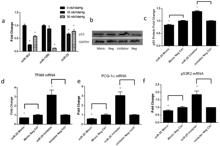 Low-level MeHg induces genes regulating mitochondrial biogenesis via miR-25. ( a ) qPCR analysis of mature miR-30d, miR-1285, and miR-25 expression levels performed on RNA extracted from ihNPCs treated with 0 nM, 10 nM and 50 nM MeHg; ( b ) A representative Western blot of p53 expression in ihNPCs. Cells were transfected with 50 nM of miR-25 mimics, miR-mimic negative control#1, miR-25 inhibitor and miR-inhibitor negative control#1 for 48 h; ( c ) Western blot analysis of p53 expression performed in 10 nM-treated ihNPCs after transient transfection of miR-25 mimics, miR-mimic negative control#1, miR-25 inhibitor and miR-inhibitor negative control#1. Glyceraldehyde 3-phosphate dehydrogenase (GAPDH) protein expression has been used as a loading control and a representative figure of three independent experiments has been shown. Results of gray value analysis are also reported (left part); ( d – f ) qPCR analysis of TFAM, PCG-α and p53R2 expression performed in 10 nM-treated ihNPCs after transient transfection of miR-25 mimics, miR-mimic negative control#1, miR-25 inhibitor and miR-inhibitor negative control#1. All experiments were repeated three times (technical triplicates) with biological triplicates ( n  = 3). Bar graphs show mean ± SEM (*  p