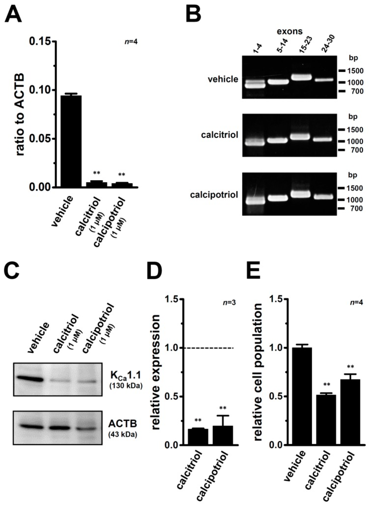 Down-regulation of K Ca 1.1 transcripts and proteins by the treatment with VDR agonists for 72 h in MDA-MB-453 cells. ( A ) Real-time PCR assay for K Ca 1.1 in vehicle-, 1 μM calcitriol-, and 1 μM calcipotriol-treated MDA-MB-453 cells ( n = 4 for each). Expression levels were expressed as a ratio to ACTB; ( B ) Band patterns on agarose gels for the PCR products of K Ca 1.1 exons (exon 1–4, 5–14, 15–23, and 24–30) in vehicle-, 1 µM calcitriol-, and 1 µM calcipotriol-treated MDA-MB-453 cells. A DNA molecular weight marker is indicated on the right of the gel; ( C ) Protein lysates of vehicle-, 1 µM calcitriol-, and 1 µM calcipotriol-treated MDA-MB-453 cells were probed by immunoblotting with anti-K Ca 1.1 (upper panel) and anti-ACTB (lower panel) antibodies on the same filter; ( D ) Summarized results are obtained as the optical density of K Ca 1.1 and ACTB band signals in C . After compensation for the optical density of the K Ca 1.1 protein band signal with that of the ACTB signal, the K Ca 1.1 signal in the vehicle control was expressed as 1.0 (dotted line, n = 3 for each); ( E ) Effects of the treatment with 1 µM calcitriol or 1 µM calcipotriol on the cell surface expression of K Ca 1.1 proteins by a flow cytometric analysis. Non-permeabilized MDA-MB-453 cells were stained with an Alexa Fluor @ 488-conjugated anti-K Ca 1.1 antibody (extracellular). Data were expressed as the relative cell population of K Ca 1.1-positive cells to those in the vehicle control (1.0) ( n = 4 for each). Results are expressed as means ± SEM. ** p