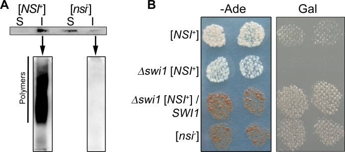[ SWI + ] prion is a key determinant of nonsense suppression in [ NSI + ] strains. (A) Sedimentation analysis of Swi1(1–297)-YFP protein from the 4-1-1-D931 [ NSI + ] and 1-4-1-1-D931 [ nsi - ] strains expressing pCUP1-SWI1(1–297)-YFP (URA3) plasmid. Soluble (S) and insoluble (I) fractions were obtained as indicated in Materials and Methods. Swi1(1–297)-YFP was detected using monoclonal rabbit primary antibodies against GFP [E385] (ab32146) (Abcam, Great Britain) and ECL Prime Western Blotting Detection Reagent kit (GE Healthcare, USA). Next, SDD-AGE analysis of insoluble fractions of [ NSI + ] and [ nsi - ] strains comprising Swi1(1–297)-YFP was performed. (B) The effects of SWI1 deletion on the [ NSI + ] phenotypic manifestation. SWI1 deletion was obtained as described in Materials and Methods. To express SWI1 , the 11-1-1-D931 [ NSI + ] swi1 Δ strain was transformed with the YGPM19p21 plasmid from the YSC4613 genomic library, containing a genomic fragment encoding SWI1 under the control of its endogenous promoter. Other strains presented in this Figure were transformed with an empty vector expressing only the LEU2 gene. Transformants were selected on–Leu medium with 150 μM CuSO 4 and replica-plated on–Leu–Ade or–Leu Gal media with 150 μM CuSO 4 . Images were taken after 5 days of incubation of–Ade plates or after 3 passages on Gal plates.