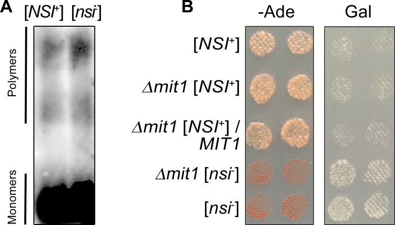Mit1 is not a determinant of the [ NSI + ] factor. (A) SDD-AGE assay of protein lysates extracted from the 4-1-1-D931 [ NSI + ] and 1-4-1-1-D931 [ nsi - ] strains expressing pMIT1-MIT1-GFP(URA3) plasmid. Cells were grown for 48 h at 30°C in liquid–Ura selective medium containing 150 μM CuSO 4 . Protein lysates were treated with 1% SDS at room temperature. Mit1-GFP was detected with monoclonal rabbit primary antibodies against GFP [E385] (ab32146) (Abcam, Great Britain) and ECL Prime Western Blotting Detection Reagent kit (GE Healthcare, USA). (B) MIT1 deletion does not affect the [ NSI + ] phenotypic manifestation. MIT1 deletion was obtained as described in Materials and Methods. The [ nsi - ] derivative of the 2–936 [ NSI + ] mit1 Δ was obtained by GuHCl treatment. To express MIT1 , 2–936 [ NSI + ] mit1 Δ strain was transformed with YGPM21o12 plasmid from the YSC4613 genomic library containing a genomic fragment encoding MIT1 under the control of its endogenous promoter. Other strains presented in this Figure were transformed with a vector expressing only the LEU2 gene. Transformants were selected on–Leu medium with 150 μM CuSO 4 and replica-plated on–Leu–Ade or–Leu Gal media with 150 μM CuSO 4 . Images were taken after 5 days of incubation of–Ade plates or after 3 passages on Gal plates.