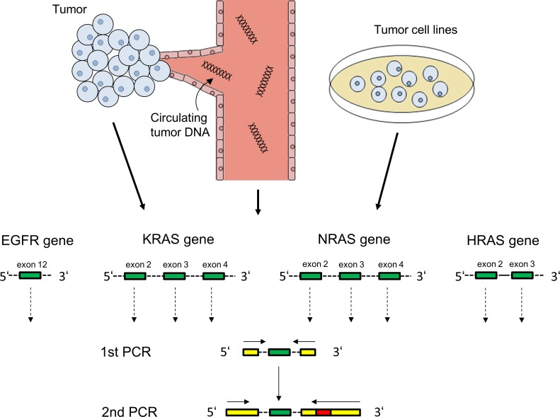 PCR amplification of EGFR and RAS exons for Illumina targeted next generation sequencing EGFR exon 12, KRAS/NRAS exons 2/3/4 and HRAS exons 2/3 (green) were amplified from tumor tissue of 46 patients, post-cetuximab circulating tumor DNA of 20 patients and from 12 squamous carcinoma cell lines. Illumina-specific sequences for hybridization and sequencing (yellow) as well as patient-specific barcodes (red) were attached in a second PCR step.