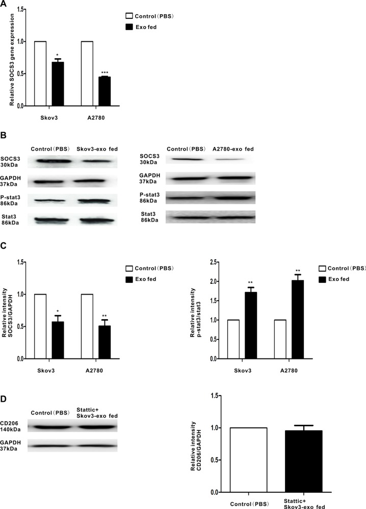 Regulation of SOCS3 expression and the related signaling pathway by EOC-derived exosomes Macrophages were treated with EOC-derived exosomes (100 ug/ml) or control (PBS). ( A ) Expression of SOCS3 gene in macrophages that were stimulated with EOC-derived exosomes or control (PBS), as performed by qRT-PCR. ( B ) A representative immunoblot of SOCS3, phosphorylated (p-) STAT3 and total STAT3 in macrophages which were treated with EOC-derived exosomes or control (PBS) is displayed along with ( C ) quantitative data by densitometry. ( D ) Macrophages were treated with phosphor-STAT3 inhibitor stattic prior to stimulate with Skov3-derived exosomes. Expression of M2 surface marker CD206 was detected by western blot. Data are shown as mean ± SEM, n = 3 independent experiments.* p